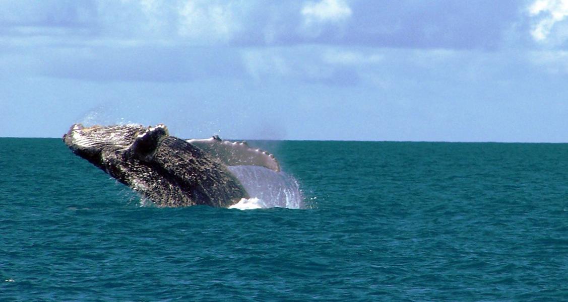 Baleia-Jubarte-no-Parque-Nacional-Marinho