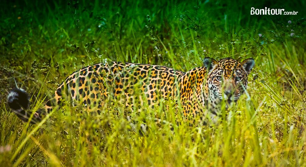 Veja aqui porque viajar para o Pantanal – MS