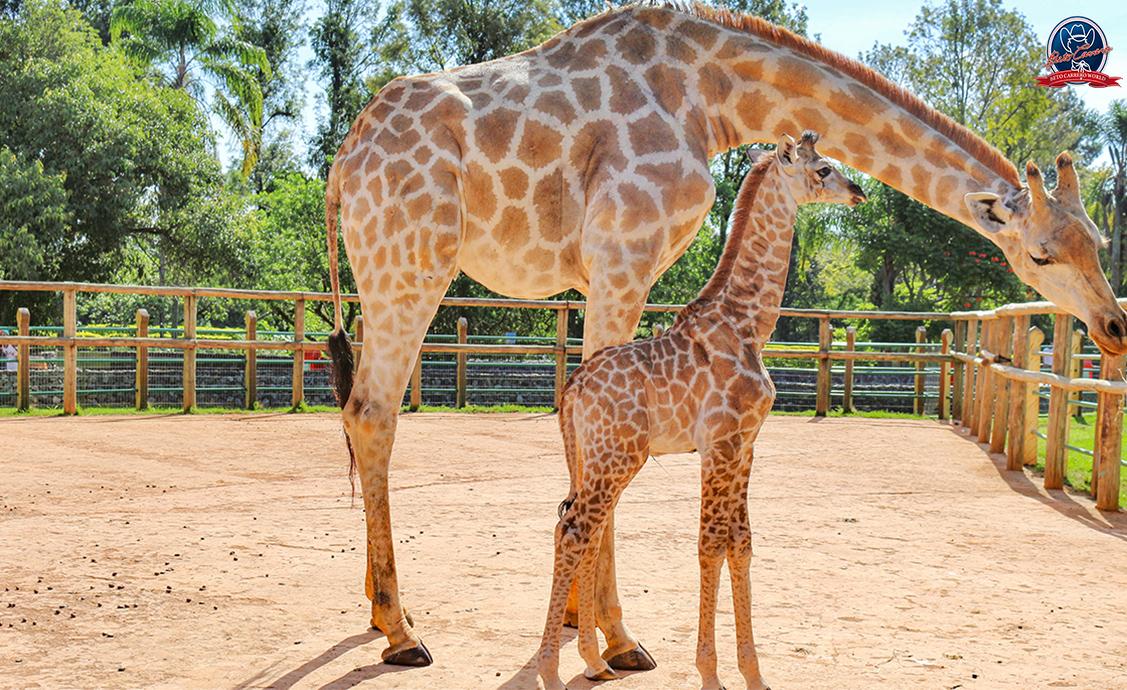 girafas-zoo