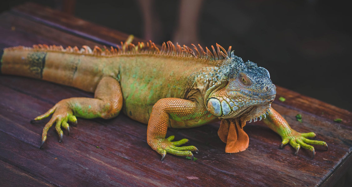 iguana - Foto: Valeria Boltneva via Pexels